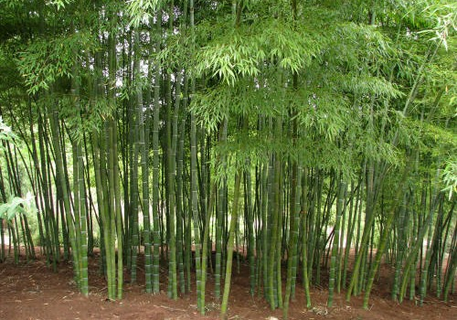 Wayne, NJ Residents! It's now illegal to plant bamboo, multi flora rose and kudzu-vine